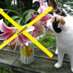 Poisonous Easter Lilies For cats